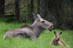Alces alces - Amerikaanse elanden Stock Fotografie