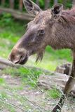 Alces alces female moose North America or elk Eurasia.  Royalty Free Stock Images