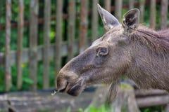 Alces alces female moose North America or elk Eurasia close up portrait Stock Photos