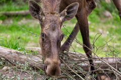 Alces alces female moose North America or elk Eurasia feeding stock photo