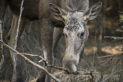 Alces alces - Moose Royalty Free Stock Images