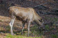 Alces alces - Moose Stock Photo