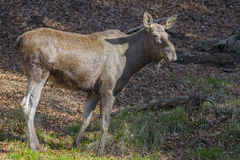 Alces alces - Moose Royalty Free Stock Photography