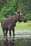 Alces Alces. A Moose standing in a lake in Algonquin National Park, Ontario, Canada Royalty Free Stock Photos