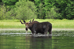 Alces Alces. A Moose standing in a lake in Algonquin National Park, Ontario, Canada Royalty Free Stock Image