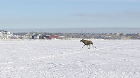 Alces (alces) que corren en el hielo en Suecia septentrional