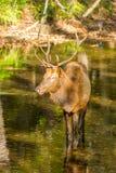 Alces Bull que se coloca en una corriente de la montaña en caída Foto de archivo libre de regalías