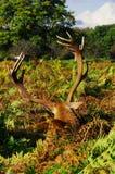 Alces, cervos e todo esse material v 4 foto de stock