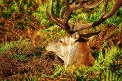 Alces, cervos e todo esse material v 2 foto de stock royalty free