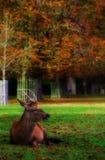 Alces, cervos e todo esse material v 6 foto de stock royalty free