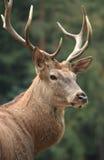 Alces com Antlers Foto de Stock