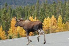 Alces croosing la carretera de Alaska Fotografía de archivo libre de regalías