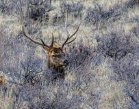 Alces da montanha rochosa Imagens de Stock Royalty Free