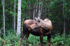 Alces da vaca em Alaska fotos de stock royalty free