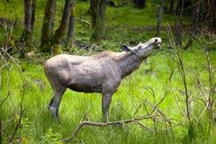 Alces da vaca na região selvagem Fotos de Stock Royalty Free