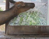 Alces da vaca sedentos no deserto do sudoeste imagem de stock