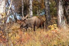 Alces de Alaska Bull Foto de archivo libre de regalías