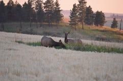 Alces de alimentación de la vaca Imagen de archivo libre de regalías