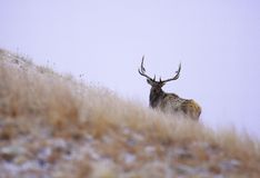 Alces de Black Hills Fotografia de Stock Royalty Free