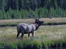 Alces de Bugling Bull Fotografia de Stock Royalty Free