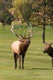 Alces de Bugling Bull na rotina Fotografia de Stock Royalty Free