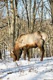 Alces de Bull Fotos de archivo