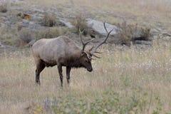 Alces de Bull Foto de archivo