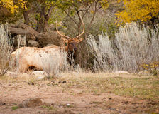 Alces de Bull Fotografia de Stock Royalty Free