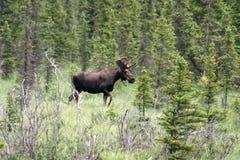 Alces de Bull Fotografia de Stock