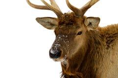 Alces de Bull Foto de archivo libre de regalías