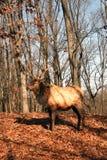 Alces de Bull Fotografía de archivo libre de regalías