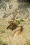 Alces de Bull Fotos de Stock Royalty Free