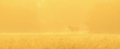 Alces de Bull adentro contra luz Fotografía de archivo libre de regalías