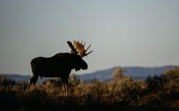 Alces de Bull após o por do sol Fotografia de Stock