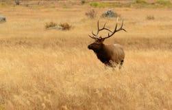 Alces de Bull con las astas grandes en el prado de oro de Rocky Mountains Fotos de archivo