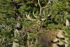 Alces de Bull em Camo fotografia de stock royalty free