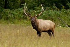 Alces de Bull em condições principais Fotografia de Stock