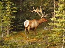 Alces de Bull en bosque Imagen de archivo libre de regalías