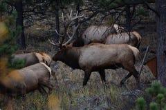 Alces de Bull en Colorado Foto de archivo libre de regalías