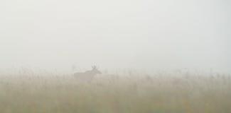 Alces de Bull en la niebla Fotos de archivo