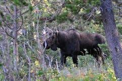 Alces de Bull en Parque Nacional Glacier fotos de archivo