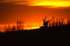 Alces de Bull en salida del sol Foto de archivo libre de regalías