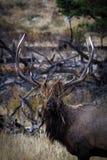 Alces de Bull na grama Fotografia de Stock Royalty Free