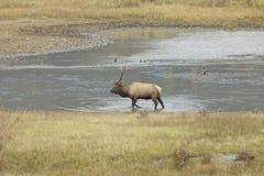 Alces de Bull na lagoa fotos de stock
