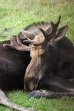 Alces de Bull no centro da conservação dos animais selvagens de Alaska Imagem de Stock