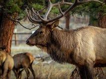 Alces de Bull no perfil imagem de stock royalty free