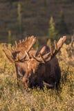 Alces de Bull no veludo Foto de Stock