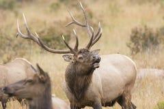 Alces de Bull que bugling para o domínio Imagem de Stock Royalty Free