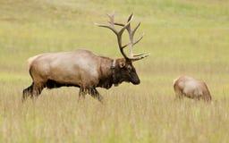 Alces de Bull que guardam seu harem Imagens de Stock Royalty Free