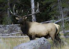 Alces de Bull que guardan vacas Imagenes de archivo